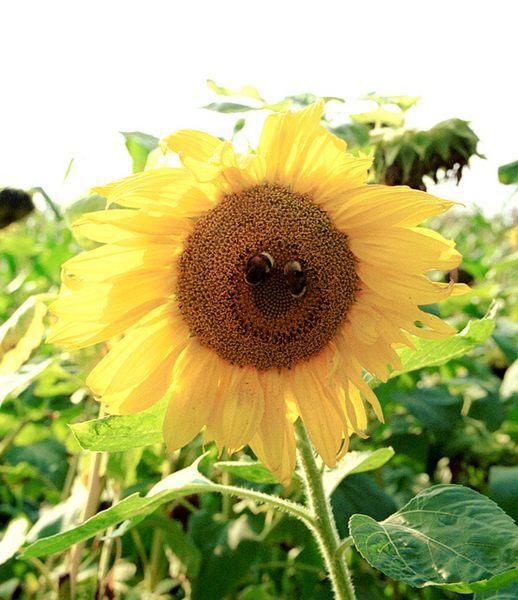 (-:  lachende Sonnenblume :-)
