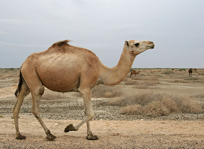 Lachendes Kamel mit Schuhen
