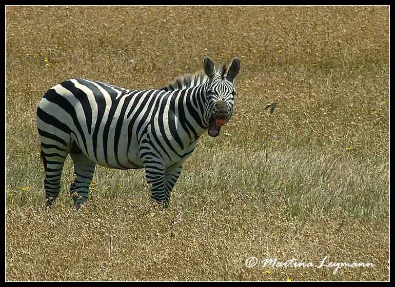 """""""lachendes"""" Zebra"""
