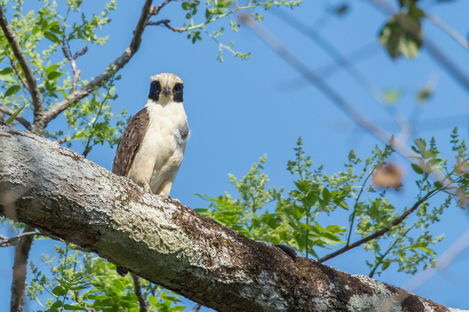Lachfalke (Herpetotheres cachinnans),in der Nähe von La Cruz, Costa Rica