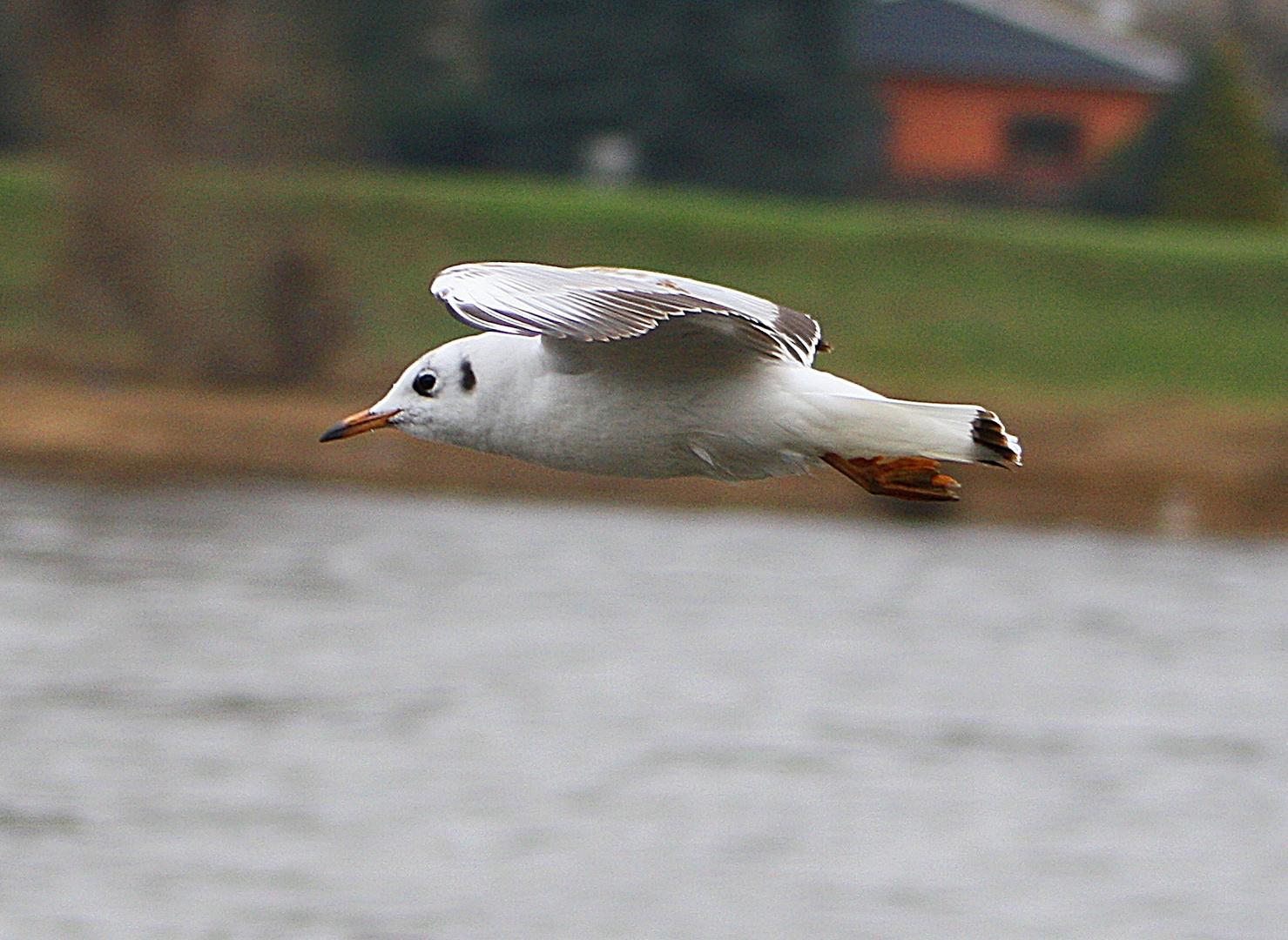 Lachmöwe im Flug