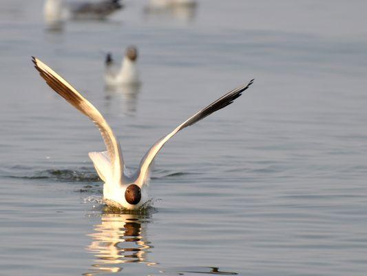 Lachmöwe in der Ostsee Zinnowitz auf Usedom