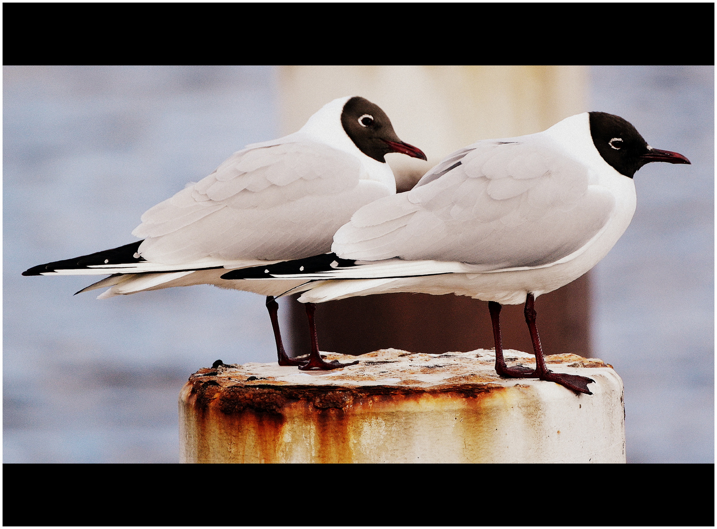 Lachmöwen, black-headed gulls