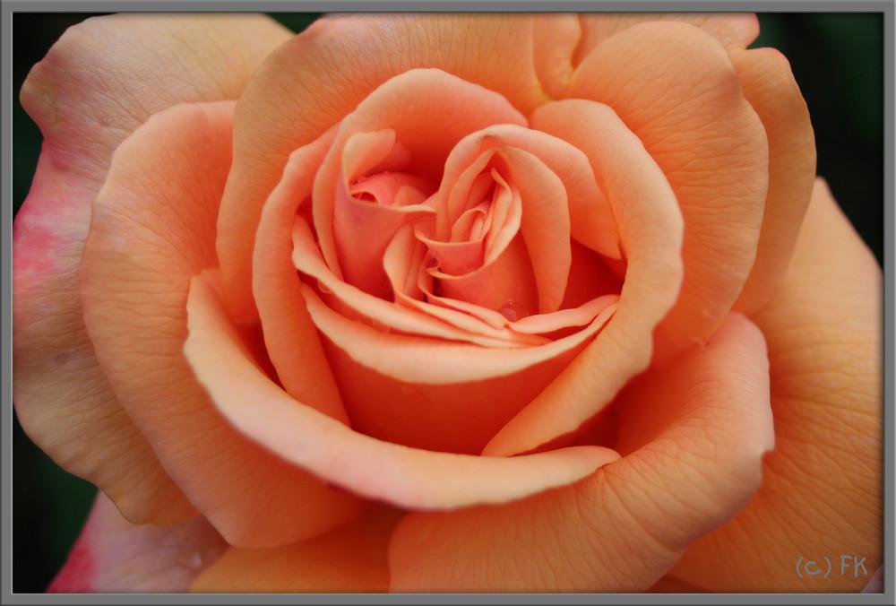 Lachs- Rose