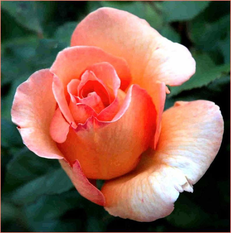 Lachsrote Rose