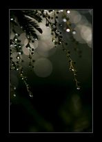 Lacrime di Mimosa