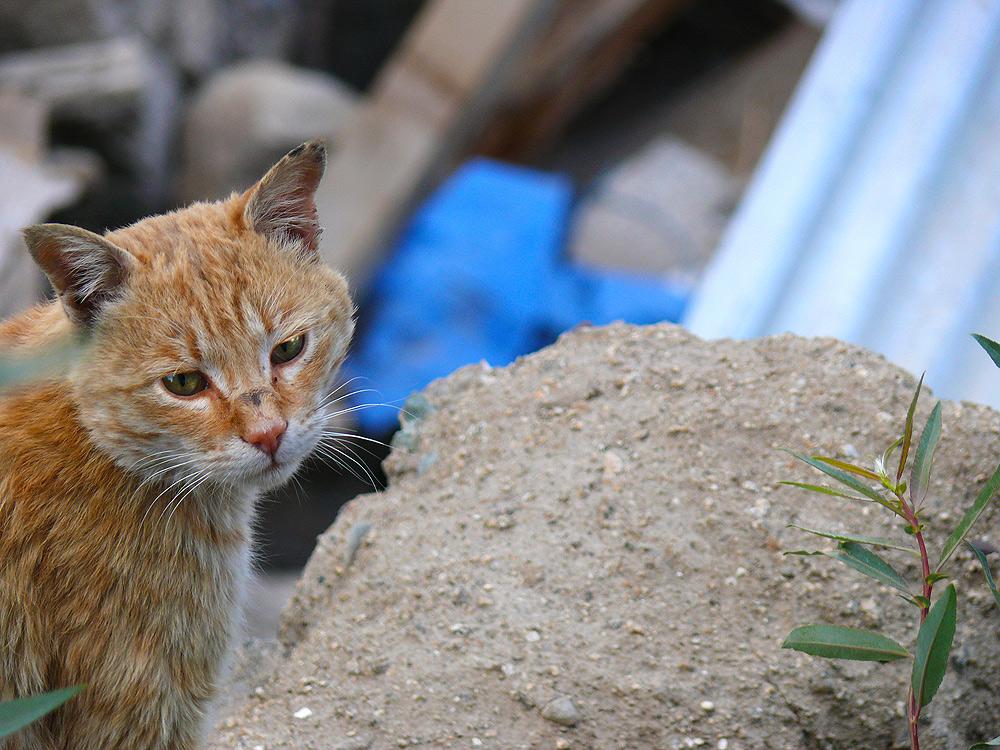 ladakhi cat