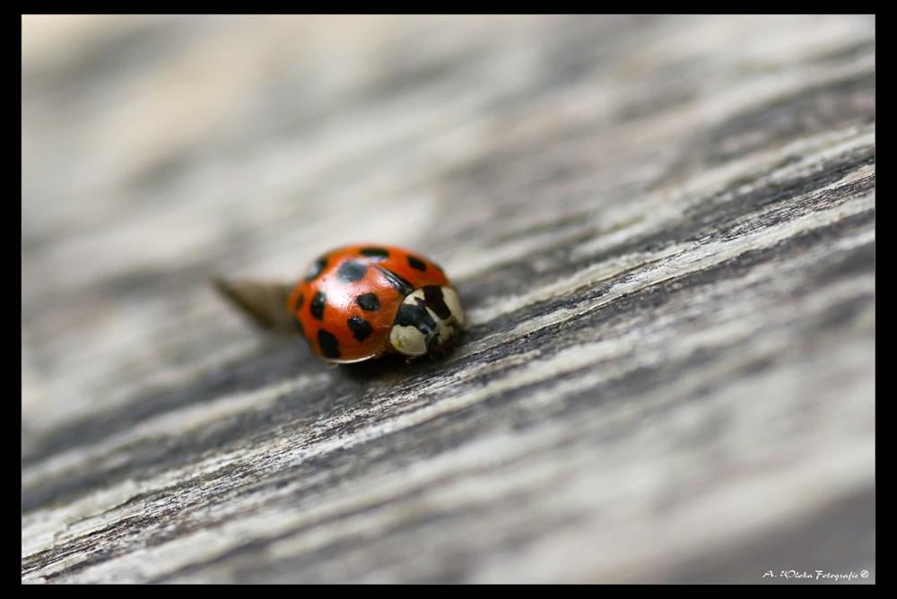- lady beetle -