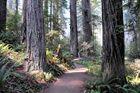 Lady Bird Johnson Grove - Redwood National Park