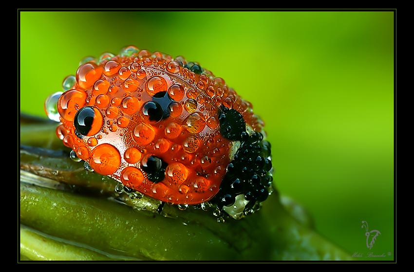 Ladybird dew