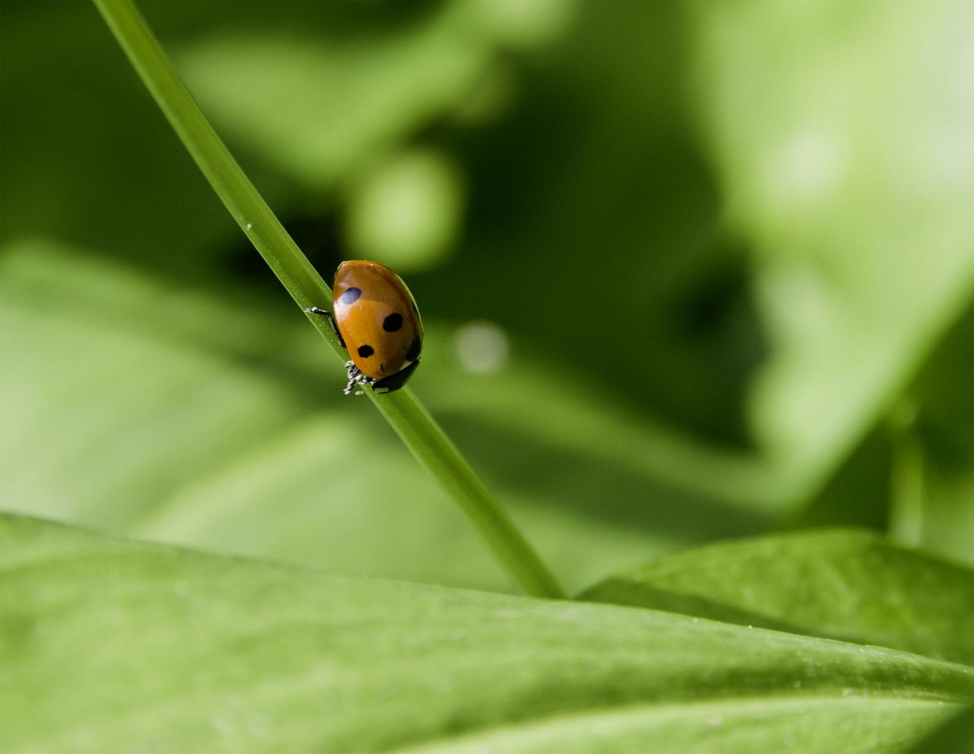 Ladybird on Green