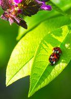 Ladybug love II