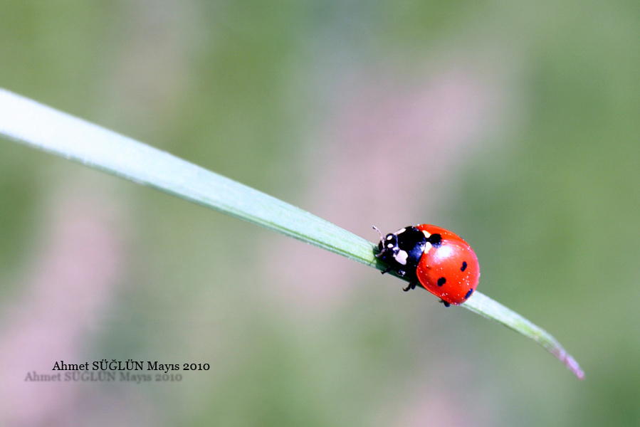Ladys Bug