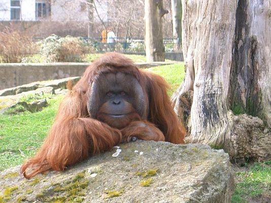 lächelnder Affe im Berliner Zoo