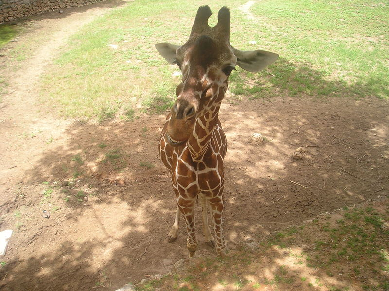 Lächlnde Giraffe