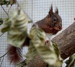 Laediertes Hörnchen , diesen Namen bekam es aufgrund seines Aufnahmezustandes