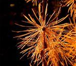Lärchen - Feuerwerk