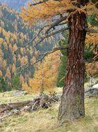 Lärchen im Herbst, Viggartal, Tuxer Alpen