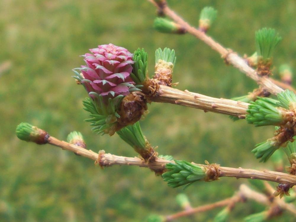 Lärchenblüte im April