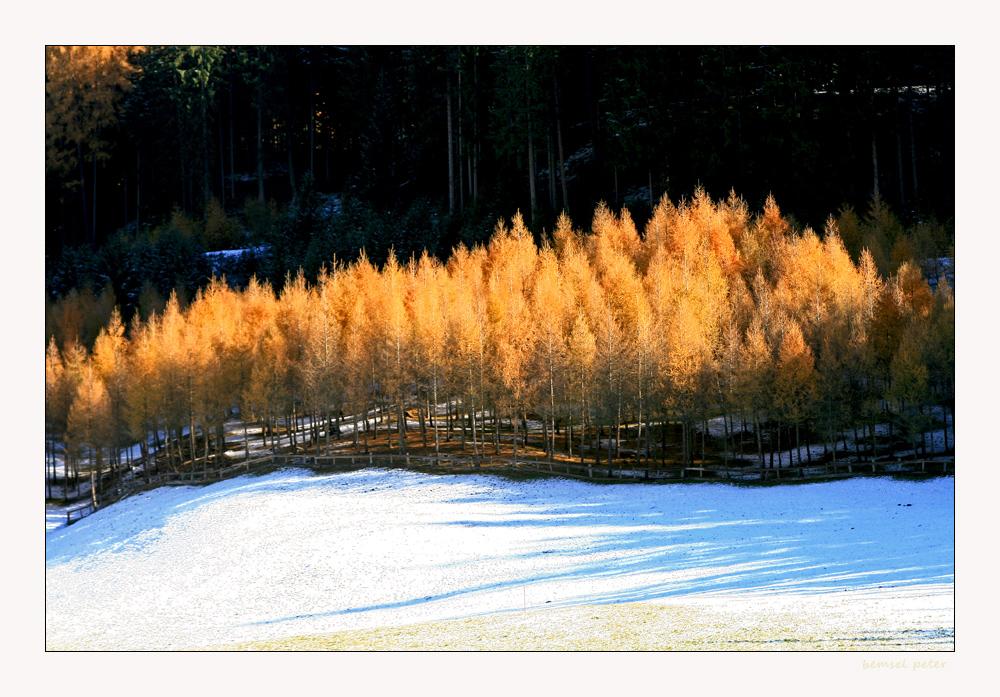 Lärchenwaldele im Herbstlicht