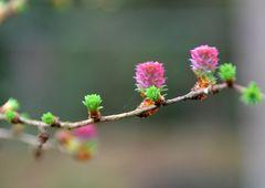 Lärchenzweig mit Blüten ....