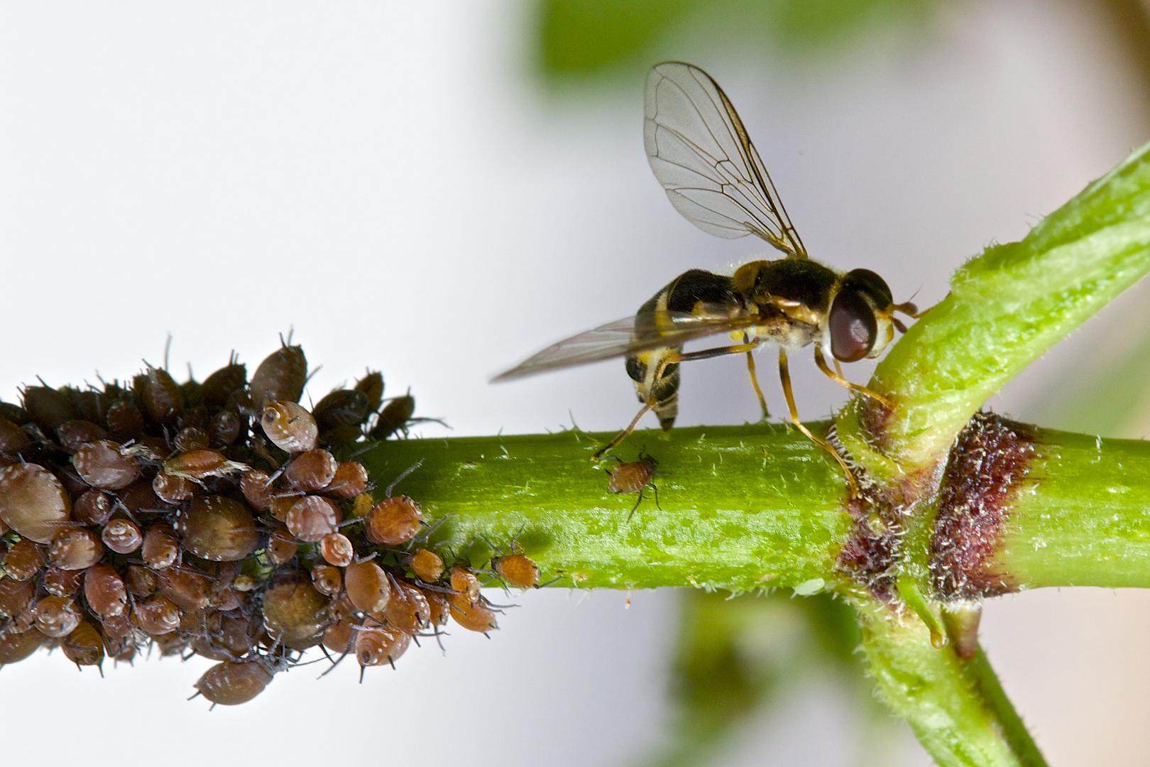 Läuse mit Insekt