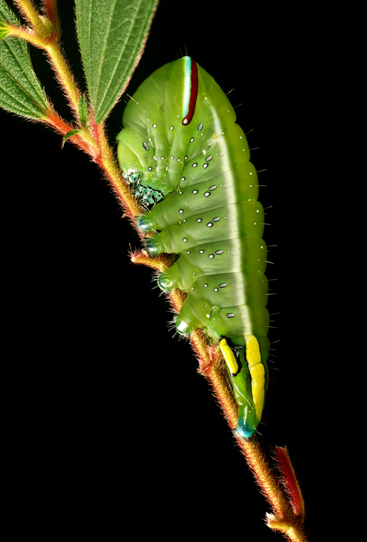 Lagarta verde
