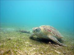 Lagon de Mayotte - La tortue verte