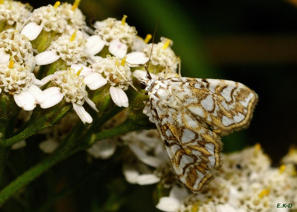 Laichkrautzünsler (Elophila nymphaeata)