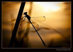 L'alba della libellula