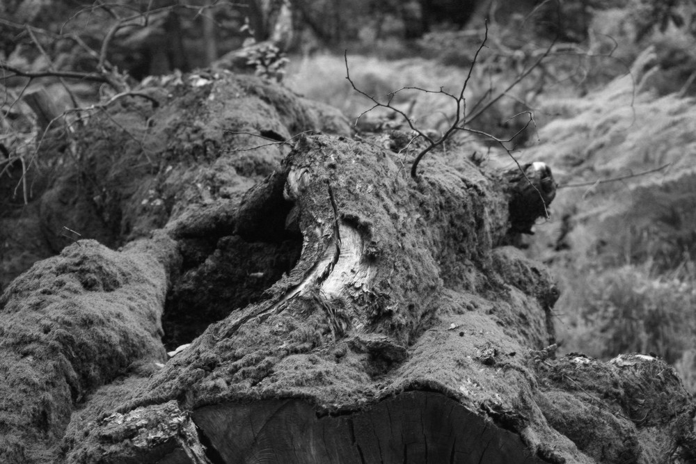 l'albero caduto