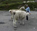 Lama-Fütterung [ 03 ]