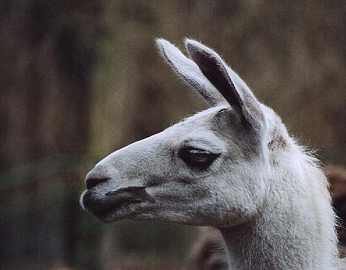 Lama im Tierpark Gera
