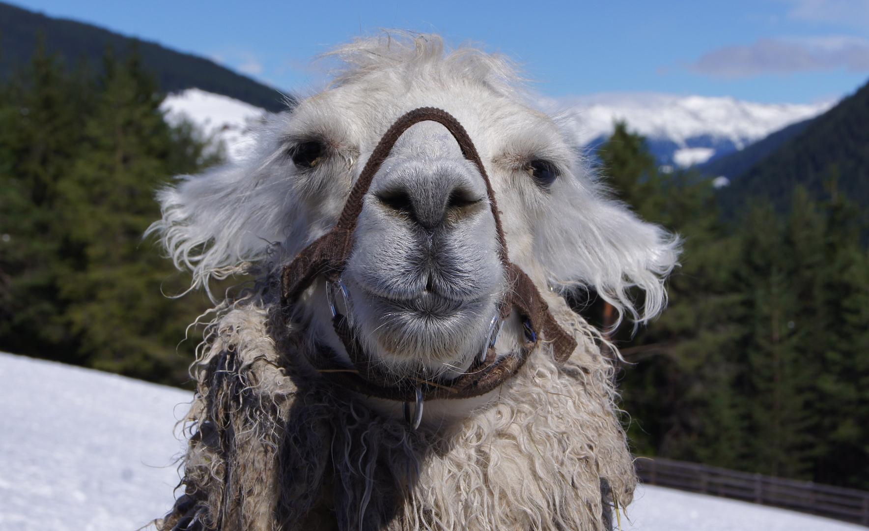 Lama in den Dolomiten
