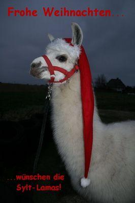 """Lama """"Käte von Sylt"""" vertritt den Weihnachtsmann"""
