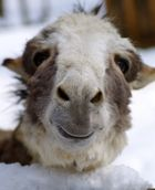 Lama oder Esel? :)