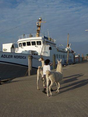 Lama-Spaziergang am Hörnumer Hafen