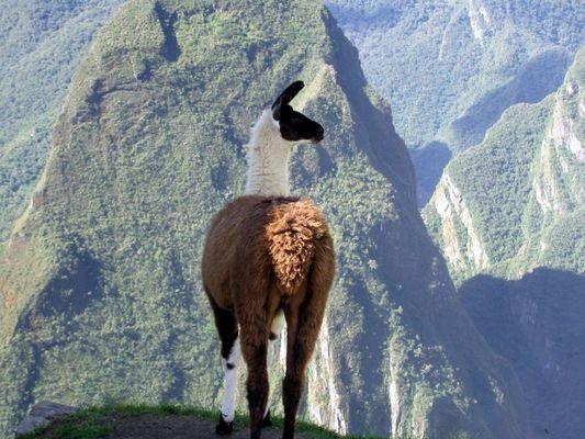 Lama Tricolori am Machu Picchu - Peru