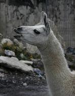 Lama von der Seite