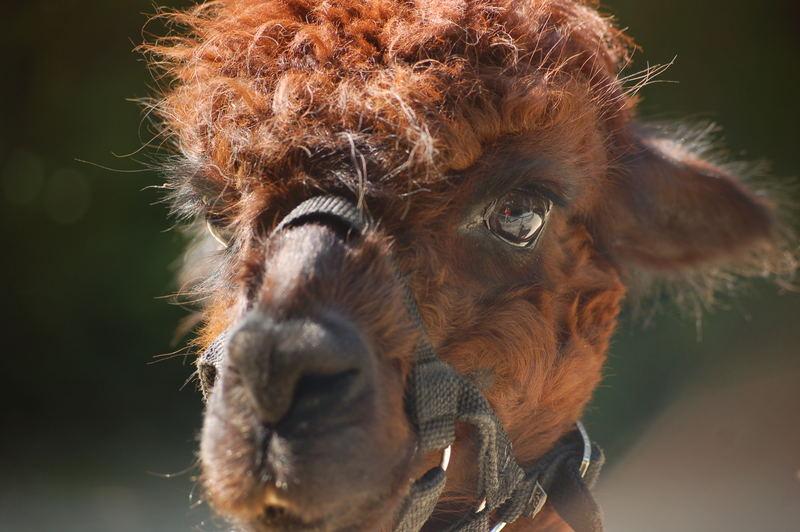 Lama with little self portrait