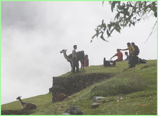 LAMAS IM NEBEL ... in Peru