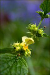 Lamier jaune (fond jacinthes sauvages)