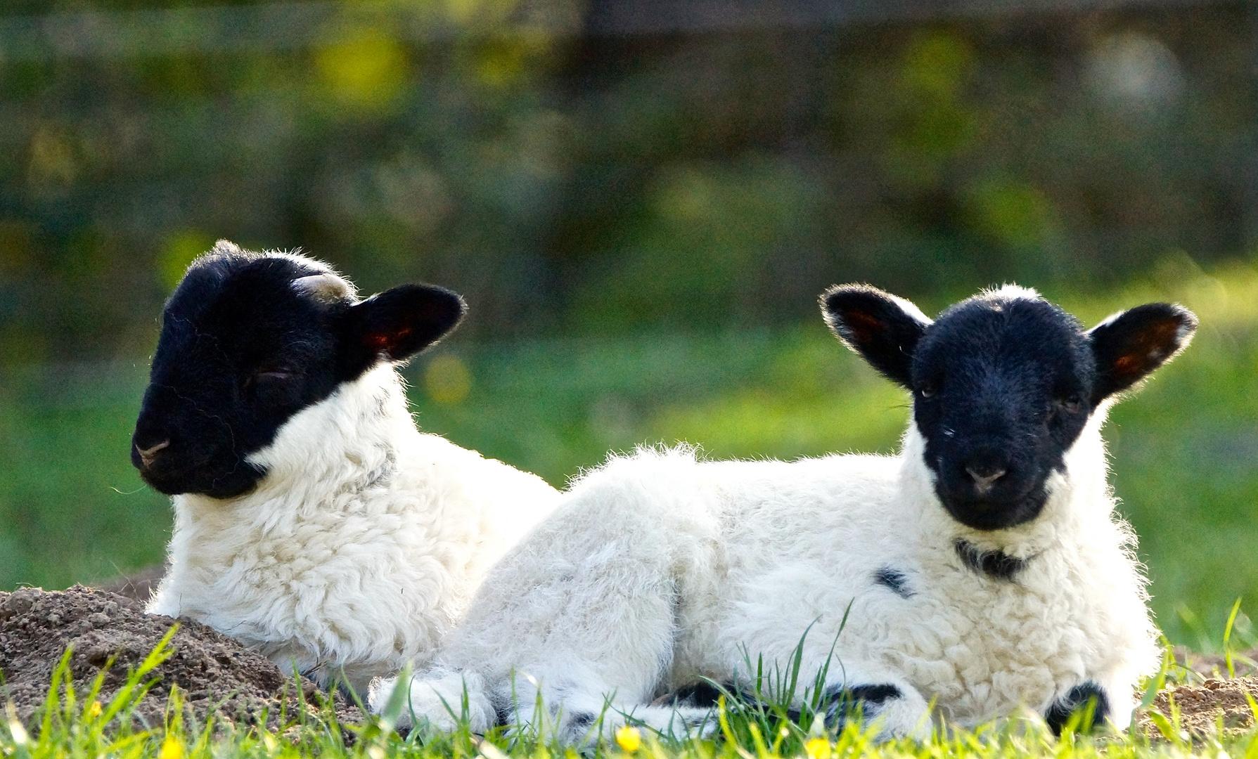 Lamm-Zwillinge
