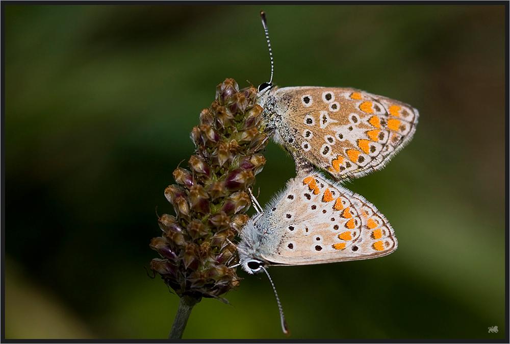 ++ L'amour des papillons ++