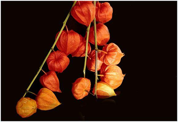 Lampionblüten