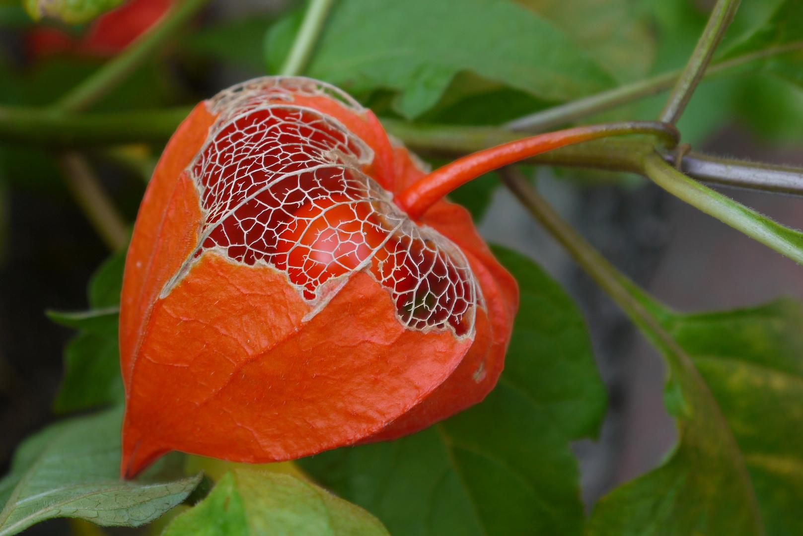 Lampionblume im eigenen Garten