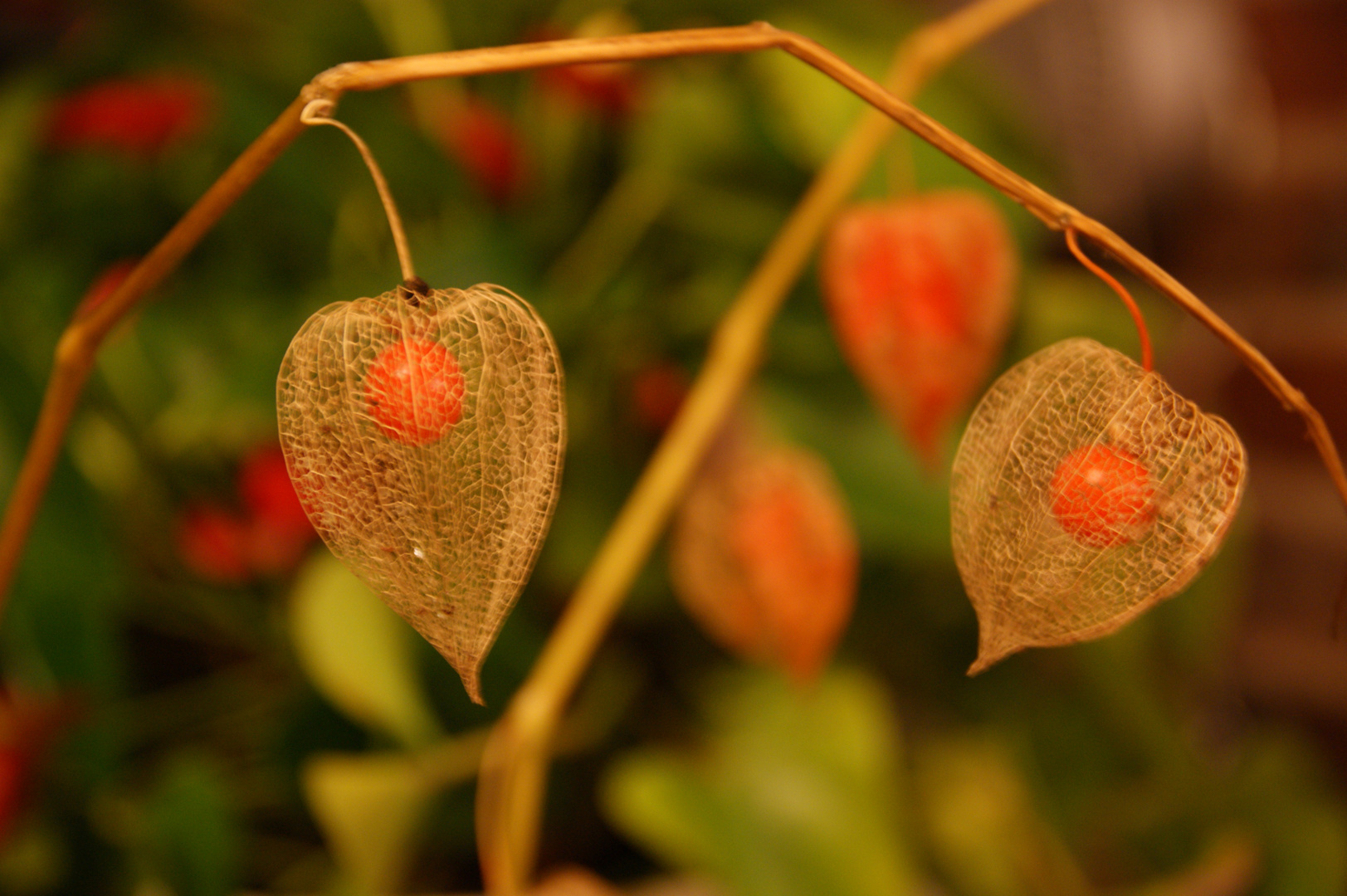 lampionblume physalis foto bild pflanzen pilze flechten fr chte und beeren natur. Black Bedroom Furniture Sets. Home Design Ideas