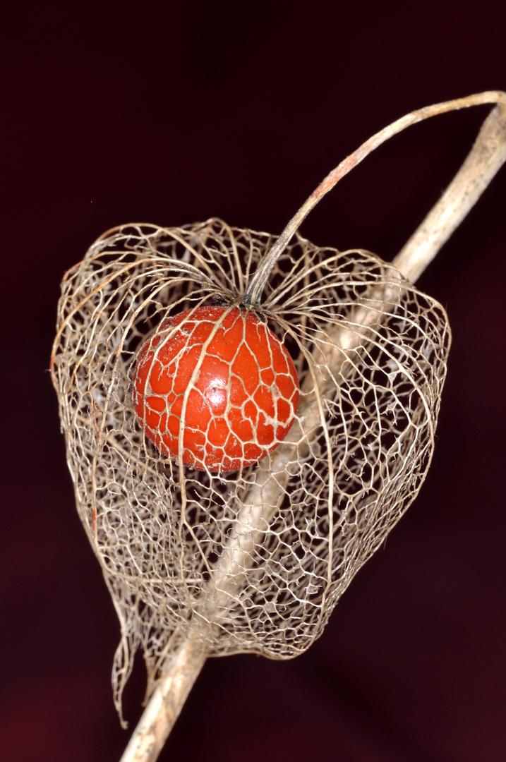 Lampionblumenfrucht 1
