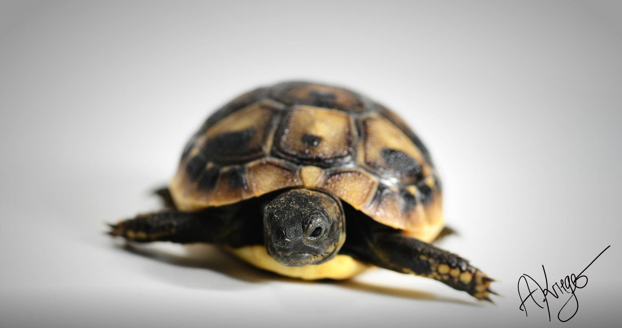 Land Schildkröte (testudo hermanni böttgeri)