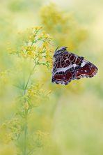 Landkärtchen Araschnia levana